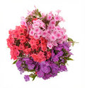 Bouquet of phloxes Royalty Free Stock Photo