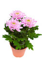 Bouquet of pink chrysanthemums on white background Stock Image