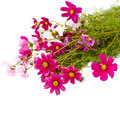 Bouquet of pink cosmos flower isolated on white Royalty Free Stock Photo