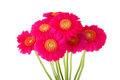 Bouquet of pink  Gerber flowers Royalty Free Stock Photo