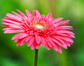 Bouquet of pink gerbera flower close up view in garden Royalty Free Stock Photography