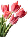 Bouquet of pink tulips Stock Images