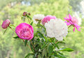 Bouquet of pink and white peony flowers with bud