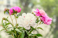Bouquet of pink and white peony flowers with buds, bokeh blur