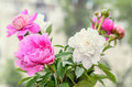 Bouquet of pink and white peony flowers with buds,