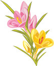 Bouquet of pink and yellow crocuses isolated on the white illustration Royalty Free Stock Image