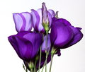 Bouquet of purple lisianthus against a white background Royalty Free Stock Photos