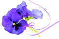 Bouquet of purple pansies purple ribbon tied white background Royalty Free Stock Photos