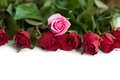 Bouquet of red and pink roses isolated on white background Stock Images