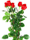 Bouquet of red roses . Stock Images