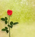 Bouquet of red roses on the background a window with raindrops Royalty Free Stock Images
