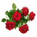 Bouquet of red roses isolated Royalty Free Stock Photography