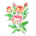 Bouquet of roses. Garden flower.