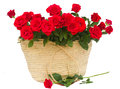Bouquet of scarlet roses in basket isolated on white background Stock Images