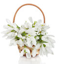 Bouquet of snowdrop flowers in basket isolated on white Royalty Free Stock Photos