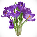 Bouquet of spring purple crocuses on the vine isolated white background Royalty Free Stock Photography