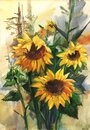 Bouquet of sunflowers in the field. Watercolor drawing