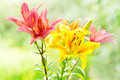 Bouquet of various lilies on green background Royalty Free Stock Photo