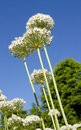 Bouquet Of White Agapanthus