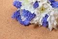 Bouquet of white chrysanthemum and blue grape hyacinth on cork b Royalty Free Stock Photo