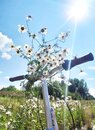 Bouquet of white daisies on the handlebars of a Bicycle. Summer picture on a walk Royalty Free Stock Photo