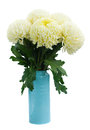 Bouquet of white mums in pot isolated on background Royalty Free Stock Photo