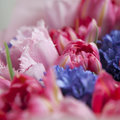 The Bouquet of white and pink tulips with blue hyacinths for the Royalty Free Stock Photo