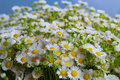 Bouquet of wild daisies Royalty Free Stock Photo