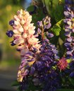 Bouquet of wild midsummer forest flowers - fresh lupines and clo