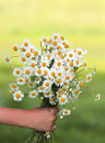A bouquet of  wildflowers daisies gives a child's hand Royalty Free Stock Photo