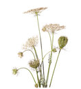 Bouquet of wildflowers isolated on white background daucus carota wild carrot plant carrot family Stock Photos
