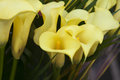 Bouquet of yellow calla lilies. Royalty Free Stock Photo