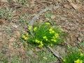 Gagea florets