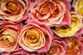 Bouquet of yellow-pink roses closeup Royalty Free Stock Photo