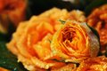 Bouquet of yellow roses narrow depth of field Stock Photography