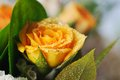 Bouquet of yellow roses narrow depth field Royalty Free Stock Image