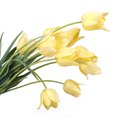 Bouquet of yellow tulips isolated on white background Stock Photography