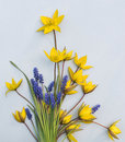 A bouquet of yellow wild tulips and blue muscari. Royalty Free Stock Photo