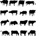 Bovine animals from around the world. Stock Image