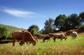Bovine cattle countriside landscape with pasturing in a green field Royalty Free Stock Photography