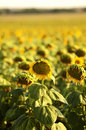 Bowing sunflower heads in a field mature head Stock Photography