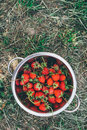 Bowl with freshly picked homegrown organic strawberries in garden Royalty Free Stock Photography