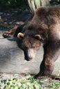Bown bear Royalty Free Stock Photos