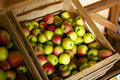 Box of apples just harvested organic Royalty Free Stock Photo