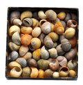 A box containing a lot of shells from the snail littorina obtusata Royalty Free Stock Photo
