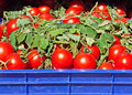 Box of ripe red tomatoes Stock Photos