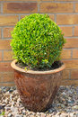 Box shrub clipped as a sphere in clay pot into Stock Photography
