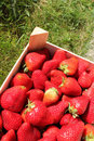 Box of Strawberries Royalty Free Stock Photos