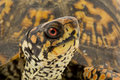 Box Turtle Stock Image