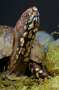 Box Turtle Stock Photo